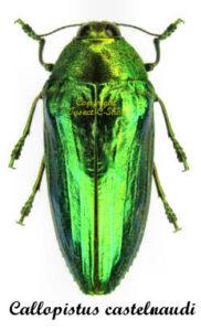 Calloppistus castelnaudi 1