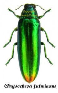 Chrysochroa fulminans fulminans 1