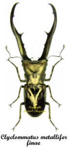 Cyclommatus metalifer finae 1