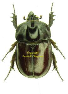 heterogomphus-gracilicornis-m