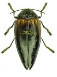Sternocera orissa variabilis 1