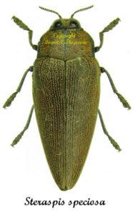 Steraspis speciosa (Red) 1