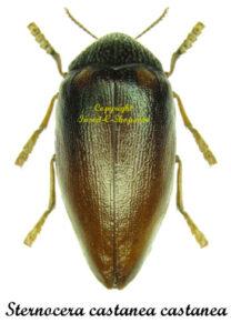 Sternocera castanea  castanea  1