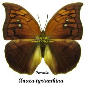Anaea tyrianthina 1