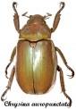 Chrysina (Plusiotis) Auropunctata 1