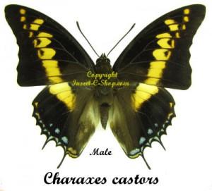 Charaxes castors 1