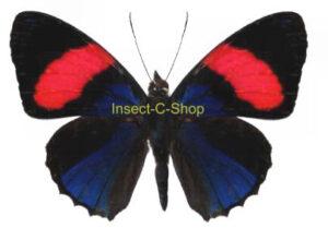 Callicore hesperis 1