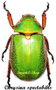 Chrysina (Plusiotis) Spectabilis 1