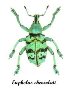 Eupholus Chevrolati 1
