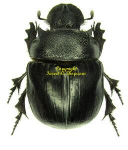 Heliocopris Bucephalus 1