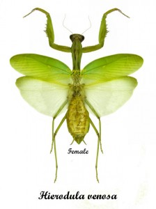 Hierodula venosa(green)(spread) 1