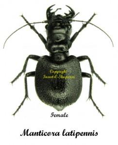manticora-latipennis-f