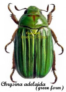 Chrysina (Plusiotis) Adelaida (Green Form) 1