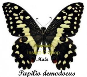 Papilio demodocus 1