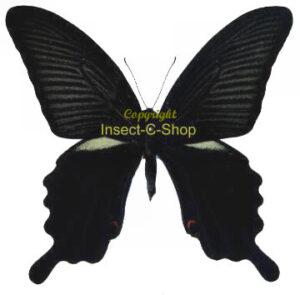 Papilio protenor demetrius(summer) 1