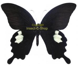 Papilio sataspes 1