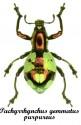 Pachyrrhynchus Gemmatus Purpureus 1