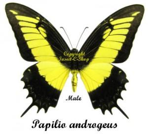 Papilio androgeus 1