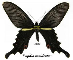 Papilio macilentus (summer) 1