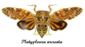 platypleura-arcuata
