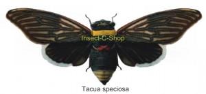 Tacua speciosa (Spread) 1