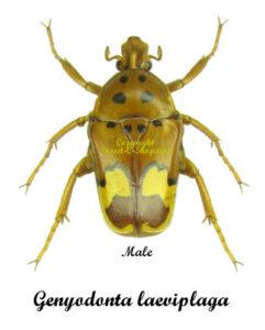 Genyodonta (Anisorrhina)laeviplaga 1
