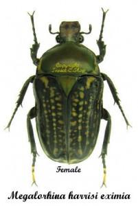 Megalorhina harrisi eximia (green Pronotum) 1