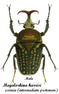 Megalorhina harrisi eximia (Intermediate Pronotum) 1