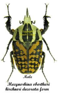 Mecynorhina oberthuri kirchneri decorata form 1