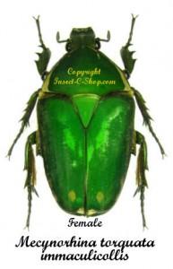 Mecynorhina torquata immaculicollis 1