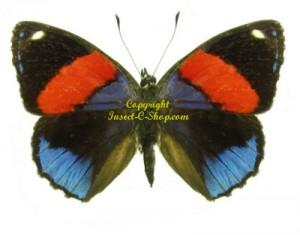 callicore-hystaspes-blue