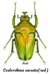 coelorrhina-aurata-red-male