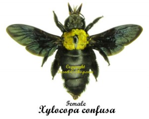 xylocopa-confusa-f