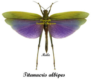 titanacris-albipes-male