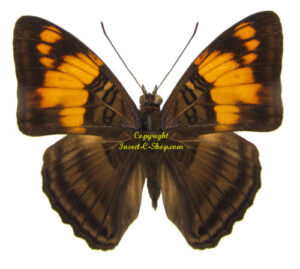 adelpha-mesentina