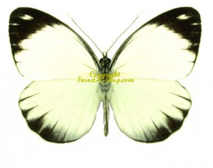 pieriballia-mandela-apicalis-m