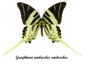 graphium-androcles-androcles