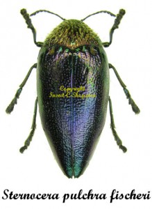 sternocera-pulchra-fischeri