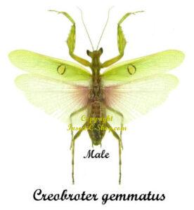 creobroter-gemmatus-male