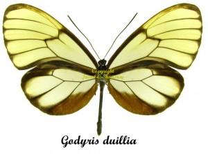 godyris-duillia