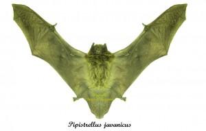pipistrellus-javanicus
