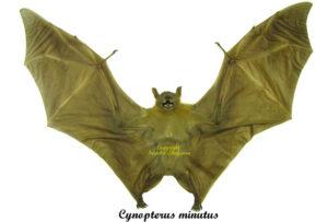 cynopterus-minutus