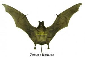 otomops-formosus