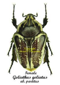 goliathus-goliatus-partitus-female