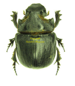 heliocopris-andersoni-small-m