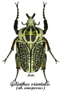 goliathus-orientalis-conspersus-m