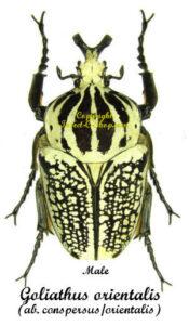 goliathus-orientalisconspersus-m
