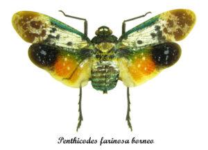 penthicodes-farinosa-borneo