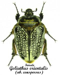 goliathus-orientalis-conspersus-f