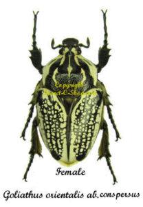 goliathus-orientalis-conspersus-female